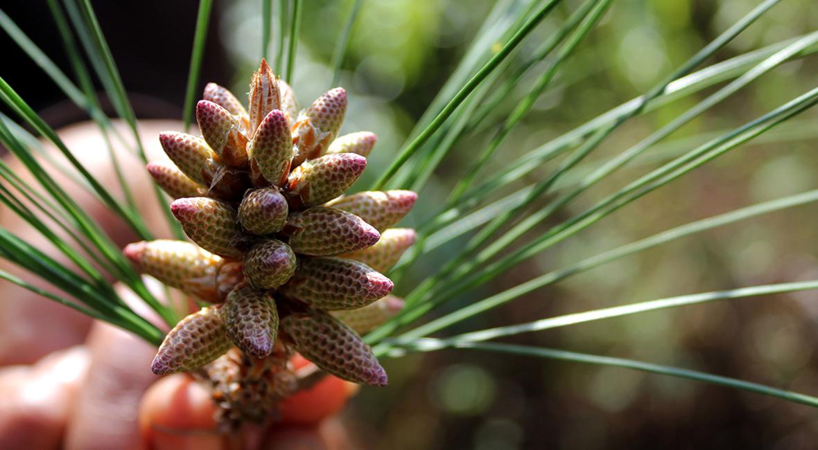 Male pine cones
