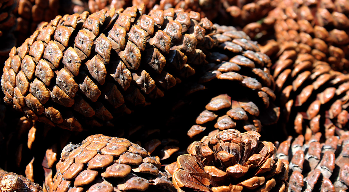 Mature female pine cones
