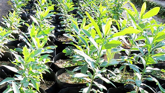 Pepper-bark tree (Warburgia salutaris)