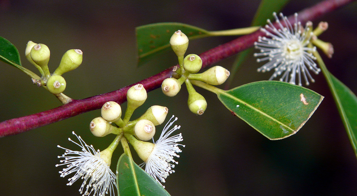 Control pollinated Eucalyptus flowers